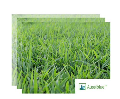 aussie blue couch turf supplier nsw